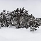 Snow gums of Mt Hotham by hangingpixels