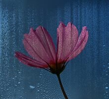 Crying In The Rain - Pink Cosmos by MotherNature