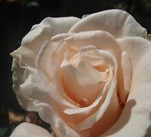Raindrops on  Roses - Cream by ShonaI