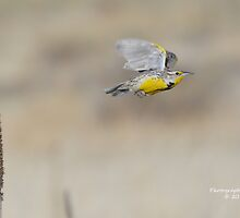 Western Meadowlark (Sturnella neglecta) by Rupa