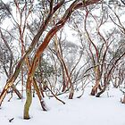 Snow Gum by hangingpixels