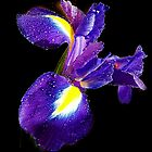 077-blue iris by elvira1