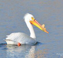 American White Pelican (Pelecanus erythrorhynchos) by Rupa