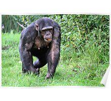 Chimpanzee with an orange Poster