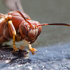 Red Wasp Comes in For a Look at my Camera by imagetj