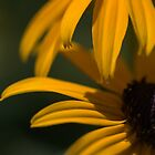 Black-eyed Susan [iPhone-iPod case] by Susan Littlefield