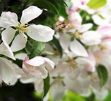Apple Blossoms by Linda  Makiej