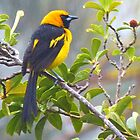 Yellow tailed Oriole by Linda Sparks