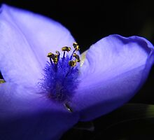 Spiderwort by WildestArt
