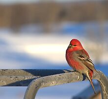 Male Pine Grosbeak by Kathi Arnell