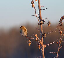 Sun Basking Red Poll Finch by Kathi Arnell
