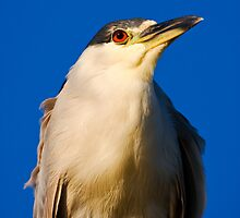 Black-crowned Night-Heron Close-up by Paul Wolf