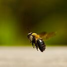 Carpenter Bee In Flight by Paul Wolf