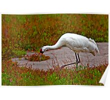 Foraging Whooping Crane Poster