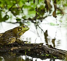 Frog on a Log by Paul Wolf