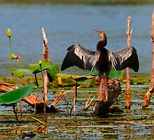 Anhinga Drying Out by Paul Wolf