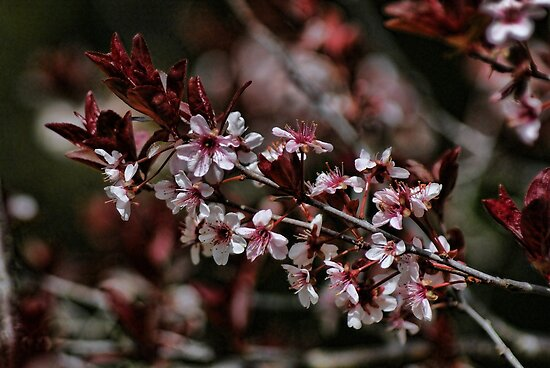 Plum Tree Blooms by Rick  Friedle