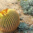 Barrel Cactus by Christine Chase Cooper