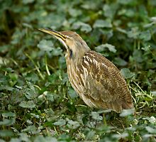 American Bittern Stitched Photo by Paul Wolf