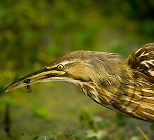 American Bittern and Black Fish by Paul Wolf