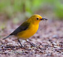Female Prothonotary Warbler - Digital Oil by Paul Wolf