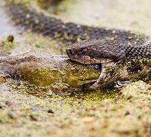 Moccasin Eating Bullfrog by Paul Wolf