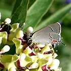 Gray Hairstreak (Skipper Butterfly) by Penny Odom