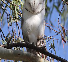 30 hoots and I will be back  Barn Owl Canberra Australia  by Kym Bradley