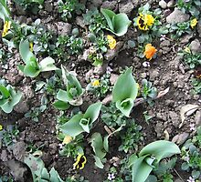 Tulip Buds by TZARULNICOLAI