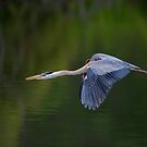 Blue Heron in Flight by Daniel  Parent