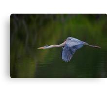 Blue Heron in Flight Canvas Print