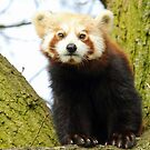 Red Panda, Awake! by Mark Hughes