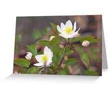Rue Anemone Wildflower - Pale Pink - Thalictrum thalictroides Greeting Card