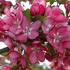 Crabapple Blossom by joycemlheureux