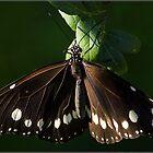 Australian Crow Butterfly by Helenvandy