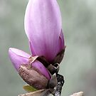 Magnolia, Gift of Spring  by AngieDavies