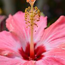 Hibiscus by Dawne Dunton