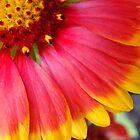 Blanket Flower ~ Gaillardia by studio20seven