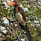 A crowned hornbill by jozi1