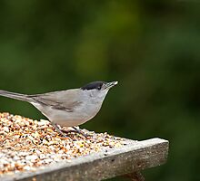 Blackcap with Seed by Sue Robinson