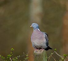 Wood Pigeon by Sue Robinson