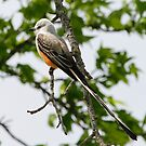 Scissor-tailed Flycatcher by Dennis Cheeseman