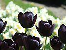 Black Purple Tulip Flowers Garden Art Prints Cards by BasleeArtPrints