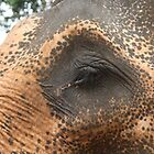 Sri Lankan Elephant by jb08067