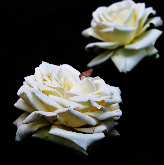 Wit Roos (White Rose) by pratt1ak