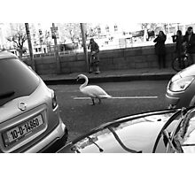 Swan in traffic Photographic Print