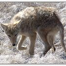 COYOTE  SERIES 2 0F 8 by Betsy  Seeton