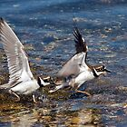 Little Ringed Plovers by Alan Forder