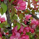 Crabapple blossom with a bumblebee by joycemlheureux