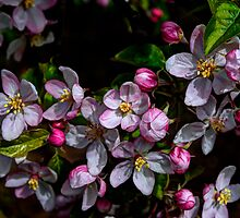 Apple Blossom Time by Charles & Patricia   Harkins ~ Picture Oregon